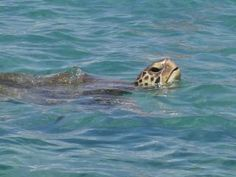 Turtles in Maui
