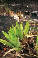 La Bromeliácea del género Navia, forma colonias en las condiciones extremas de los afloramientos rocosos en los tepuyes.