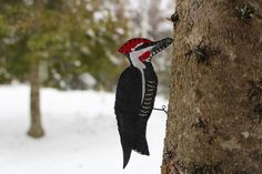 A felt pattern for the iconic Pileated Woodpecker.