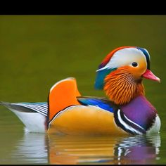 Mandarin duck, Beautiful bird!