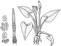 PlantNET - FloraOnline