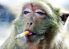 Nicotine addicted monkey with a hangover.