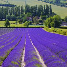 Lavender field in Provence, France..  Can you imagine standing in these?