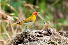 Foto saíra-ferrugem (Hemithraupis ruficapilla) por Ivan Angelo | Wiki Aves - A Enciclopédia das Aves do Brasil