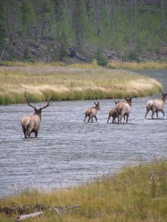 Yellowstone National Park, USA. just went. fave place. actually saw a bull elk! seen plenty of cows before
