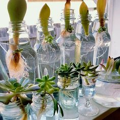 Propagating succulents - waterpropagationstation 💦💚 wishing everyone a wonderful weekend🤗 for some water propagation tips with succulents keep reading👇 … Propagate Succulents From Leaves, Growing Succulents, Cacti And Succulents, Growing Plants, Planting Succulents, Planting Flowers, Propagating Cactus, Plant Propagation, Cuttings