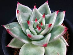 Succulent with crimson tips