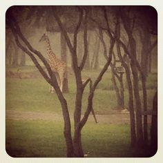 Giraffe - All by himself in the rain