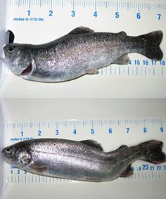 Modest levels of nitrate nitrogen – in the 75 to 100 mg/L range – may be more harmful to aquaculture-raised rainbow trout than producers realize. A team of scientists at the Conservation Fund's Freshwater Institute documented deformities and significant behavioral changes in rainbow trout raised in recirculating #aquaculture systems with nitrate nitrogen concentrations at levels less than one-tenth the recommended maximum nitrate nitrogen level of 1,000 mg/L. They believe...