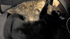 Tabby and black cat hugging