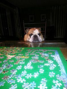Sully #bulldog