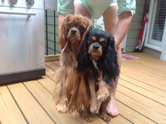 Sweetest dogs ever! King Charles Spaniel, Cavalier King Charles, Buckets, Real People, Babies, Dogs, Animals, Babys, Animales