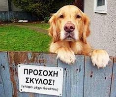 """Dangerous Dogs Behind """"Beware of Dog"""" Signs Love My Dog, Puppy Love, Animals And Pets, Funny Animals, Cute Animals, Funny Dogs, Cute Dogs, Amor Animal, Beware Of Dog"""