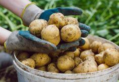 Det er enkelt å dyrke poteter i potter på terrassen. Beans, Potatoes, Vegetables, Food, Potato, Essen, Vegetable Recipes, Meals, Yemek