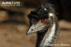 One of Australia's most famous animals, the emu (Dromaius novaehollandiae) is a large flightless bird, second only to the ostrich in height. The emu's large, bulky body is covered in shaggy...