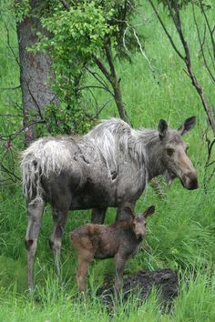 Baby moose in Anchorage.