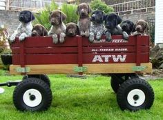 Millie and her brothers and sisters! German shorthair pointers
