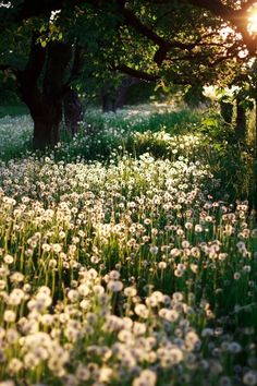 """Future landscaping ideas.  LOVE dandelions, especially freely growing in """"fields"""" under tress, maybe hedged with lavender or rosemary."""