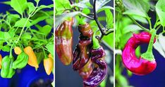 GUIDE: Odla chili – 7 fina sorter att börja med | Land Chili, Eggplant, Stuffed Peppers, Vegetables, Land, Garden, Garten, Chile, Stuffed Pepper