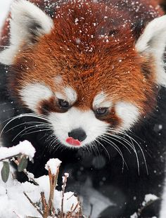Red Panda Licking it's Nose. My bug would love a red panda for a pet!