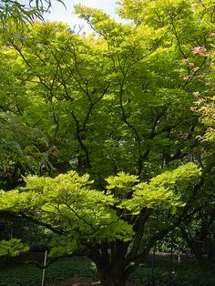 "A beautiful Japanese maple, ""Shirasawanum aureum"", for the deepest shade."