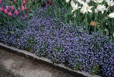 "Myosotis sylvatica ""Blue Sylva"",Forget-me-not, Fall Plants, Shade Plants, Best Perennials, Yellow Eyes, Forget Me Not, Shade Garden, Garden Planning, Green Leaves, Green And Grey"
