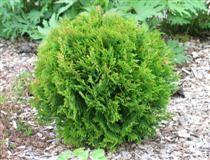 THUJA OCCIDENTALIS 'LITTLE GIANT' pallotuija  Pallomainen pieni pensas kuten em. 'Danica', mutta versot pysyvät vihreinä syvemmälle kasvis... THUJA OCCIDENTALIS 'LITTLE GIANT' pallotuija  Pallomainen pieni pensas kuten em. 'Danica', mutta versot pysyvät vihreinä syvemmälle kasvissa ja lehdet ovat tummanvihreät.  Käyttö: yksittäin, ryhmissä auringossa–varjossa, jopa ruukuissa.  I–IV 50 cm x 50 cm A–V Tuo–Kos Ra+++