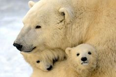 beautiful - polar bear with cubs