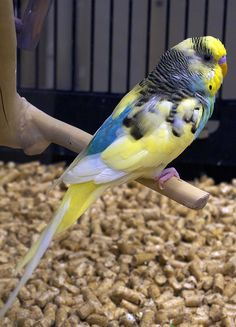 Pretty fancy Budgie Parakeet | PetsMart, Cambridge, MA, December 5, 2011. | tom dube | Flickr