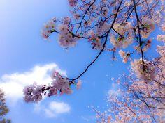 桜 太宰府