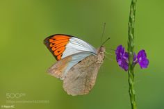Great Orange Tip by rajankc. @go4fotos
