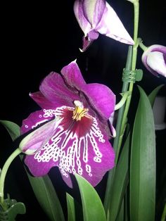Stunning colour this orchid