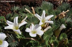 Oxalis palmifrons