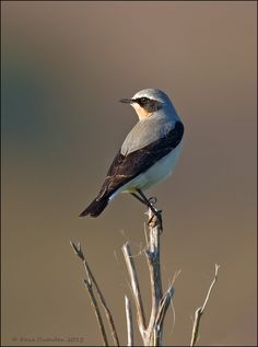 Wheatear by Dave Ovenden on 500px