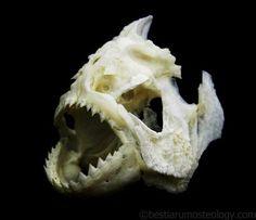鱼类头骨一览_原生鱼吧_百度贴吧
