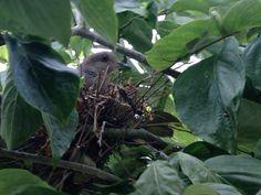 ハナミズキに巣を作ったハト…
