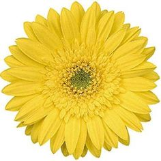 Gerbera Yellow is a pretty Yellow cut flower.