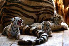 Yawning Tiger Cub http://ift.tt/1sWTHvq