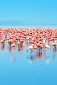 Flamingos in African Lake ... (2016/07/31)