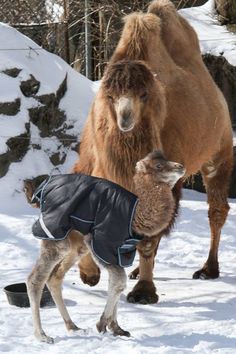 """A Bactrian Camel born on February 25, 2014 is already winning fans at the Cincinnati Zoo.  Keepers announced the male baby's name, Jack, one week and one day later – on Hump Day, of course."""