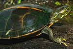 Herps of Arkansas: Southern Painted Turtle (Chrysemys dorsalis)