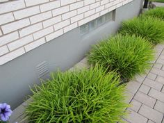 Luzula sylvatica - storfryle Ornamental Grasses, Shade Garden, Herbs, Shades, Plants, Garden Ideas, Gardening, Google, Hedgehog