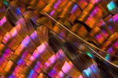 """The iridescent scales of a sunset moth's wing show up in stunning detail, thanks to focus-stacking work by Gledhill. This 17x-magnified image covers a 1.3-millimeter-wide section of the wing.  Gledhill says the higher magnification you use, the more physics works against good image quality.  """"If you want to see the scales on a moth or butterfly wing, you have to stack images,"""" he said. """"It allows you to reduce diffraction and circumvent the natural blur from your optics."""""""