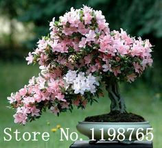 Japanese Sakura Flower seeds 10pcs/lot Cherry Blossoms Bonsai tree Seeds Sakura Seeds 6 Colour cherry Free Shipping-in Bonsai from Home & Garden on Aliexpress.com | Alibaba Group
