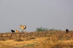 Domestic Dogs chasing Indian Wild Ass, Little Rann of Kutch Rann Of Kutch, Conservation, Indian, Dogs, Nature, Animals, Image, Animales, Animaux