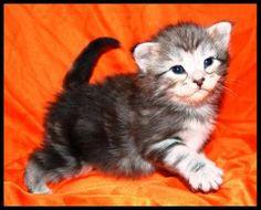 Norwegische Waldkatze/Kitten M-Wurf