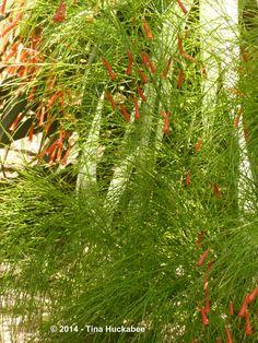 p1050925-new.jpg (2736×3648)  Firecracker Fern (Plant),  Russelia equisetiformis.