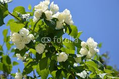 shrub with white flowers and sky
