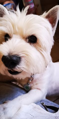 Highlands Terrier, West Highland Terrier, Westies, Dogs, Animals, Animales, Animaux, Pet Dogs, Doggies