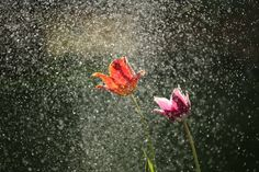 Sommer Dahoam | 1000things No Rain No Flowers, May Flowers, Pink Flowers, Beautiful Flowers, Laylat Al Qadr, Rain Wallpapers, Hall & Oates, Spring Shower, Socrates